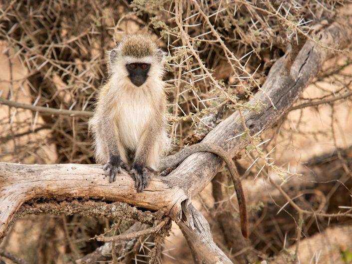 Serengeti - Vervet Monkey