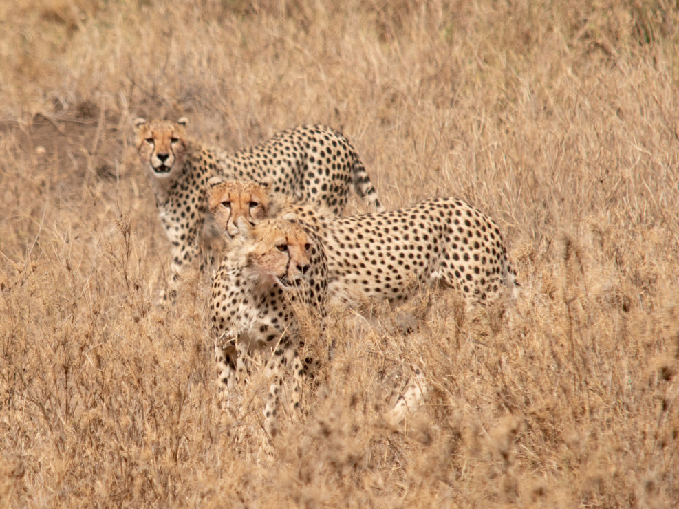 Central Serengeti - Three Cheetas